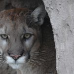 Cougar at Safe Haven