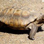 Desert Tortoise at Safe Haven