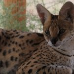 African Serval at Safe Haven