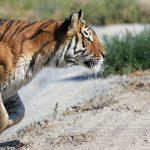 Bengal Tiger at Safe Haven Wildlife Sancutary