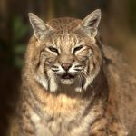 Bobcat at Safe Haven