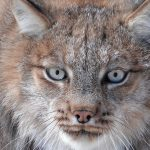 Canadian Lynx at Safe Haven