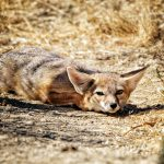 Kit Fox at Safe Haven