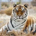 Siberian Tiger at Safe Haven